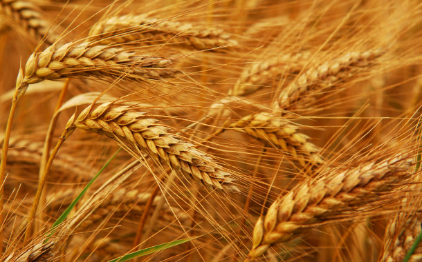 Buğday'ın Fiyatı Yüzde 20 Arttı